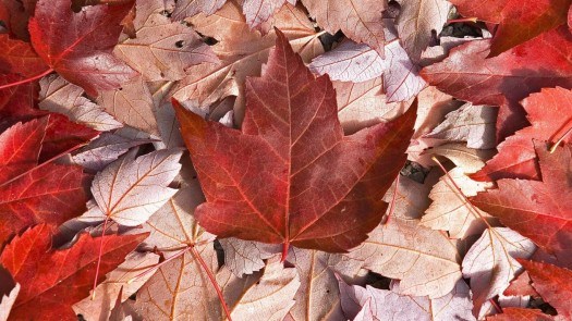 Canada-Flag-Leaves-Maple-Cool1-768x1366